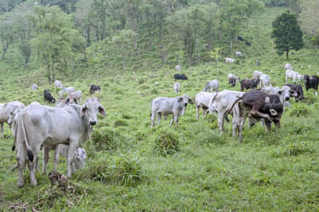 roam: Healthy cows roam and graze on hilly lush pastures in Chiapas, Mexico