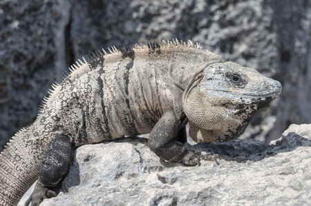 Big wild iguana sunbathing on limestone rock on a beach in Tulum, Mexico