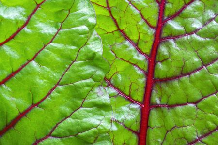 chard: Macro closeup shiny green leaves and red veins of fresh grown Swiss chard