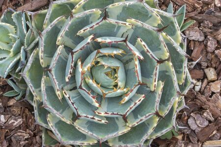 drought    resistant plant: Closeup top view spiny pattern of green and yellow variegated thorny leaves of agave Kichi Sokan cactus