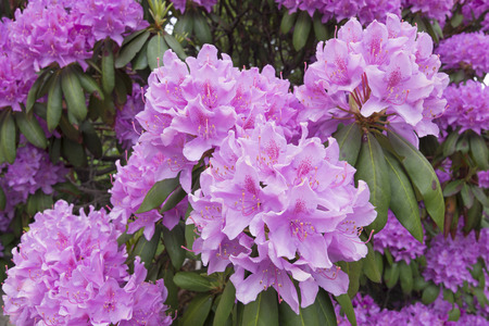 showy: Closeup of big showy pink blooms of Rhododendron flowers