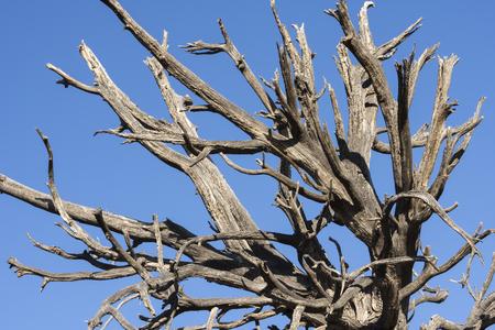 barren: Closeup of dead barren branches of deceased old tree in desert under clear blue sky Stock Photo