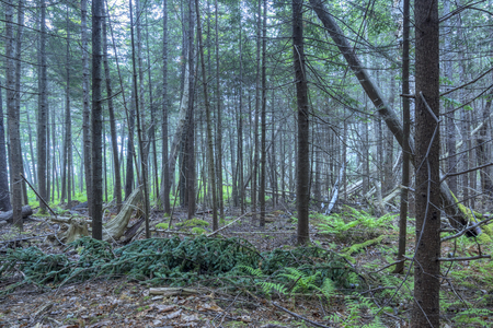 dreary: Interior of dense pine forest with fallen trees and branches in coastal Maine of northeastern United States under dreary fog