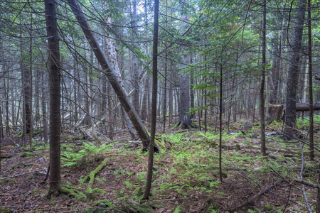 dismal: Interior of dense forest with tall pines, fallen pines, ferns and moss in coastal Maine of the northeastern United States Stock Photo