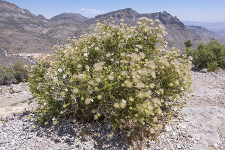 drought    resistant plant: Beautiful big Fallugia paradoxa Apache plume bush in full bloom on top of Turtle Head Peak in Red Rock Canyon Nevada Stock Photo