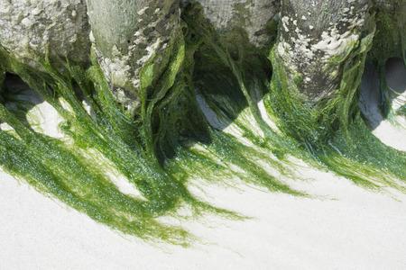 algas verdes: Hebras largas de algas franja verde sobre la arena blanca h�meda en la playa del Caribe en Isla Mujeres, M�xico