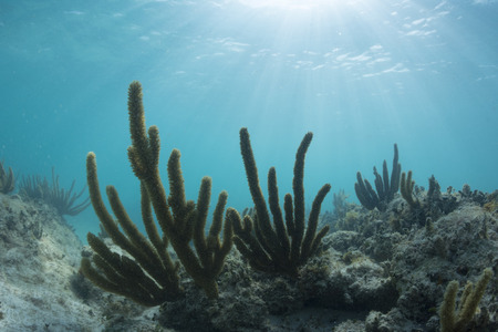 mujeres: Silhouettes of soft sea rods growing underwater on rocky reefs as rays of sunlight beam down through sea at north point of Isla Mujeres, Mexico