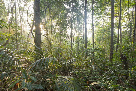 tropical tree: Wide angle inside dense Amazon jungle with early morning sunlight filtering through tropical trees
