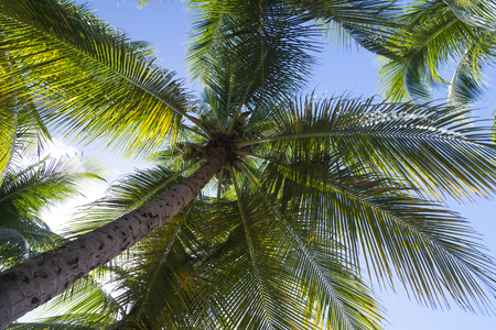 cocos nucifera: Wide low angle up trunk and underside of fronds of Cocos nucifera coconut palm with green fruits on blue sky background