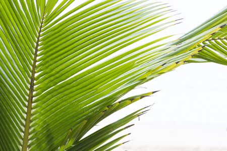 palm frond: Closeup detail of tropical coconut palm frond on white background with copy space Stock Photo