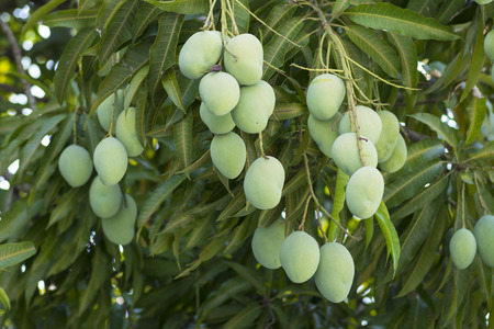 edible leaves: bunches of green unripe Mangifera mango fruits hanging from lush tree