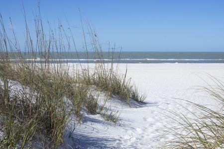 sea oats: Native Uniola paniculata sea oats establish protective sand dunes on white beaches of St. Petersburg, Florida