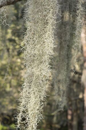 tillandsia: Closeup Tillandsia usneoides Spanish moss hanging from tree branches Stock Photo