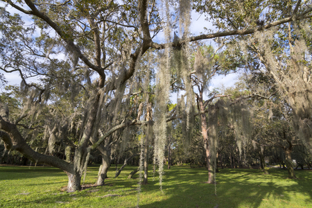 epiphyte: Tilandsia usneoides Spanish moss hangs in shadows of wide branches of oak trees at Abercrombie Park in St. Petersburg, Florida