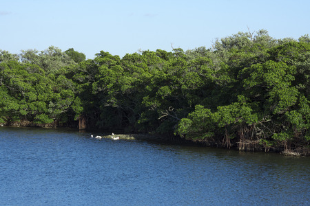 tampa bay: Thick green mangrove forest along shore of Tampa Bay in Florida on sunny day