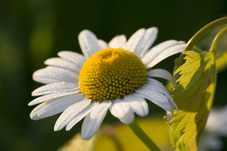 Beautiful closeup of tiny drops of dew on white petals of daisy flower bathed in gentle morning light