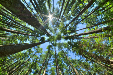 Fisheye HDR view looking directly up in dense Canadian pine forest with sun glaring in clear blue sky as trees reach for the sky Stockfoto