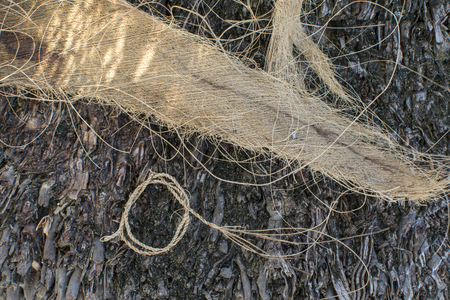 Closeup of naturally spun cordage from coconut palm sheath fibers on coconut palm trunk