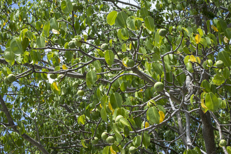 Poisonous manchineel tree full of ripe green fruits on Caribbean island of Isla Culebra