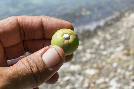 Closeup of man on Caribbean beach holding fresh picked fruit of Hippomane mancinella manchineel tree revealing deadly white sap