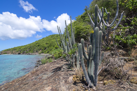 cactus species: Naturally occuring variety of endemic cactus and other plants growing on Caribbean island rocky coast of Isla Culebra in Puerto Rico