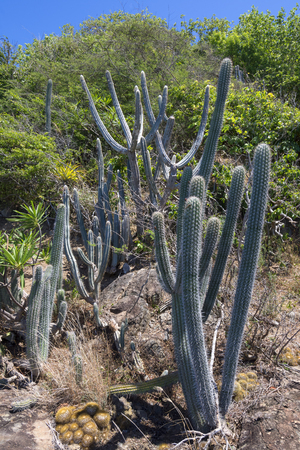 Naturally occuring variety of endemic cactus and other plants growing on Caribbean island hillside of Isla Culebra in Puerto Rico