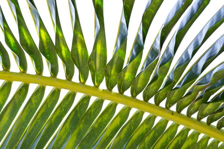 underside: Closeup underside of coconut palm frond leaf on white background Stock Photo