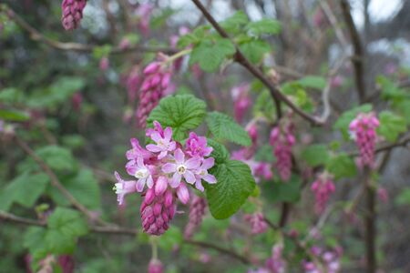 Spring blossoms and new green leaves of Ribes sanguineum red flowering currant bush 写真素材