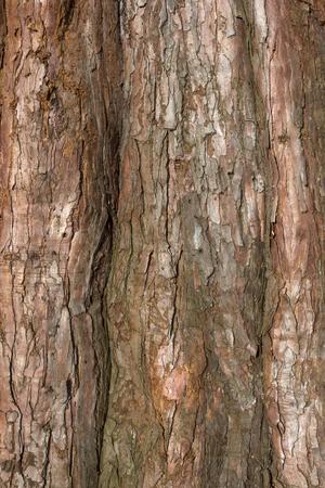 tree detail: Closeup detail of scaly textured bark of pine tree Stock Photo
