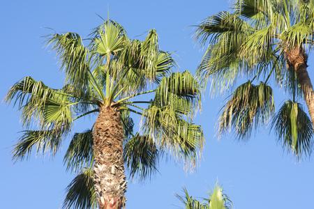 Hoogste gedeelte lange lange ventilatorpalmen (robusta Washingtonia) in natuurlijk licht en levendige blauwe hemelachtergrond