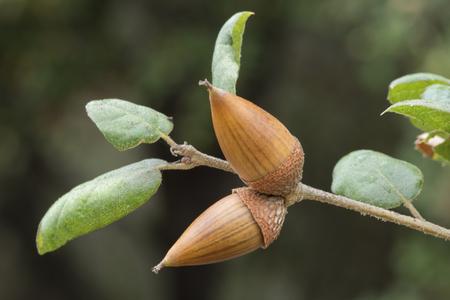 Twee rijpe eiken vruchten aan het einde van eiken tak met natuurlijke onscherpe achtergrond