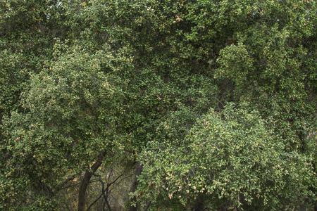 Dense green foliage of Quercus oak trees in California in natural setting Stock Photo