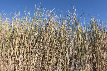 Wide angle thick growth of Typhe cattails with dry leaves on sunny autumn day in Southern California