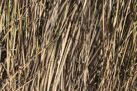 Closeup of thick growing Typha cattails with dry brown leaves in Autumn