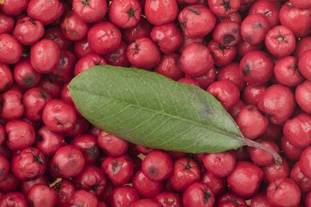 Close-up rijp rood Heteromeles arbutifolia toyon fruit met één groen blad op de top