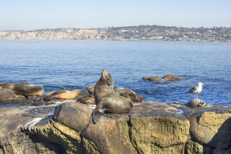 De zeeleeuw van Californië zonnebaadt in zon op ertsader met andere zeeleeuwen in La Jolla, Californië
