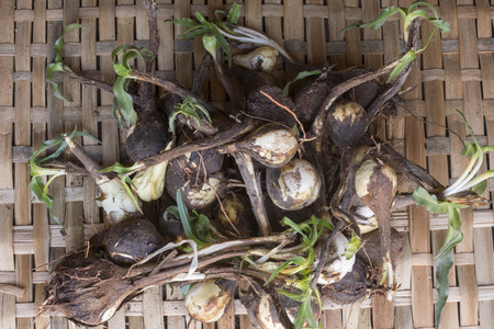 High angle on pile of freshly harvested California soap plant bulbs on reed mat