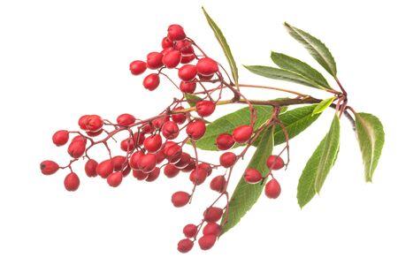 Closeup fresh ripe Heteromeles arbutifolia Toyon fruits on leafy branch isolated on white background