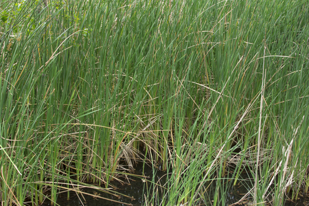 Abundant population of wild Typha bulrush cattails growing in shallow marsh in southern California