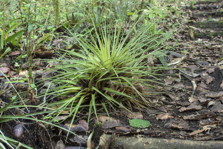 Beautiful tillandsia airplant on moist forest floor of Huitepec Preserve in Chiapas, Mexico Archivio Fotografico - 104384545