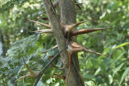 Closeup Vachellia cornigera bullhorn acacia thorns on branch in natural environment