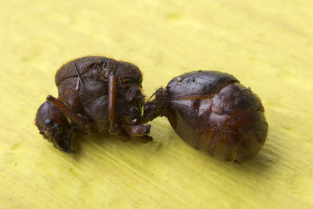Macro closeup of edible roasted flying ant known as nucu in Chiapas, Mexico, on yellow table