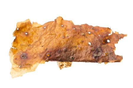 Macro closeup medicinal Bursera simaruba gumbo-limbo tree bark isolated on white Stock Photo