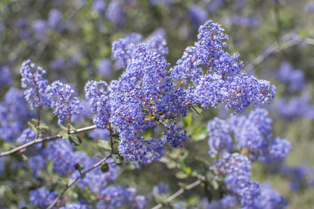 Closeup shallow depth of focus of blooming Ceanothus tomentosus Ramona lilac flowers in natural environment Stockfoto