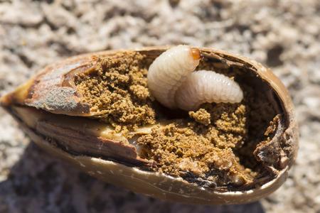 Macro closeup of two Curculio acorn weevil larvae consuming inside of an acorn Stockfoto