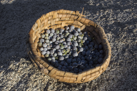 Primitive cattail basket full of California juniper berries outdoors on granite rock Stock Photo