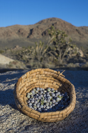 Primitive basket filled with fresh-picked California juniper berries in late afternoon desert landscape