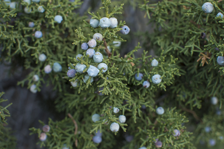 Close-up shallow depth of focus ripe California juniper berries on Juniperus californica tree