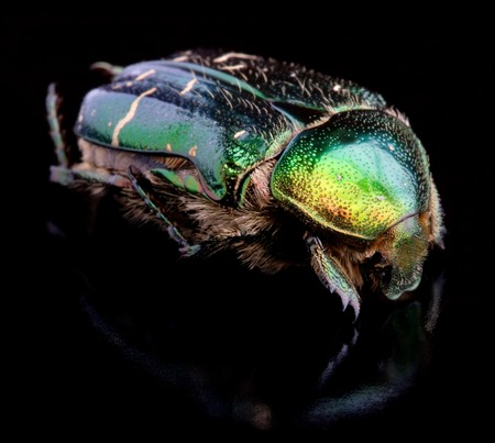 scarabaeidae: Cetonia aurata, known as the rose chafer, isolated on black background