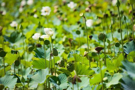 Beautiful white lily pond Stock Photo - 4377568